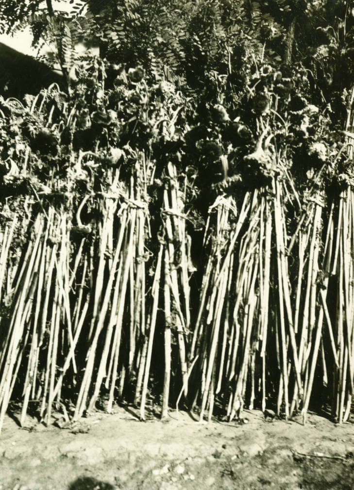Soroki. 5.3 miles northeast of Swozdziec House on north side of highway. Close up of sunflowers which were drying along fence. September 23 1934.